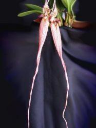 Bulbophyllum Nudda