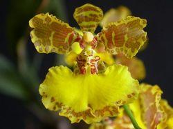 Brasilidium x colnagoi