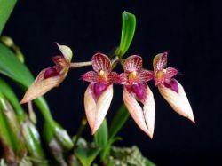 Bulbophyllum Louis Sander x Bulbophyllum guttulatum