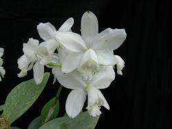 Cattleya loddigesii alba