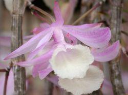 Dendrobium cucullatum