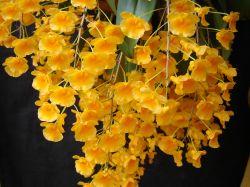 Dendrobium lindleyi