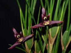 Maxillariella tenuifolia - escura