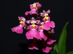 Oncidium Red Mini