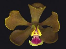 Encyclia gallopavina