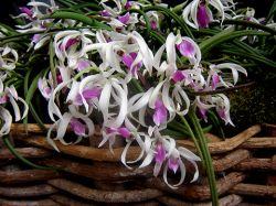 Leptotes bicolor