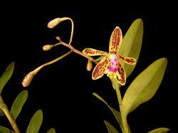 Epidendrum cristatum