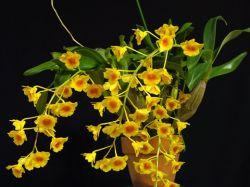 Dendrobium crysotoxum (NBS)