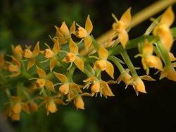 Epidendrum armeniacum