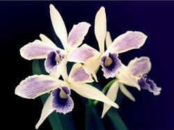 Brasilaelia purpurata Werkhauseri estriata