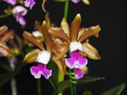 Cattleya tenuis