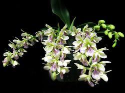 Sedirea japônica (Phalaenopsis japonica)
