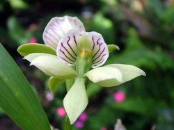 Anacheilium chacaoense