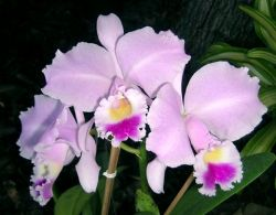 Cattleya trianae (