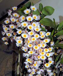 Dendrobium amabile