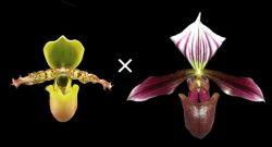Paphiopedilum primulinum × purpuratum