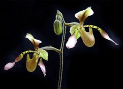 Paphiopedilum Tony Semple