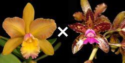 Blc. Waikiki Gold × Cattleya tigrina