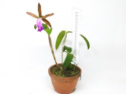 Cattleya dormaniana
