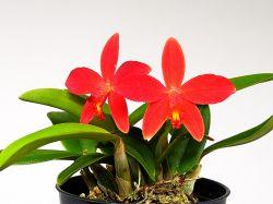 Sophronitis riograndensis × Hoffmannseggella milleri
