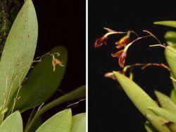 Pabstiella hypnicola (Pabstiella fusca)