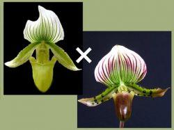 Paphiopedilum (Goultenianum album × lawrenceanum)