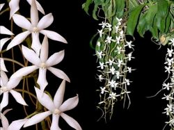 Aerangis Hawaiian Star