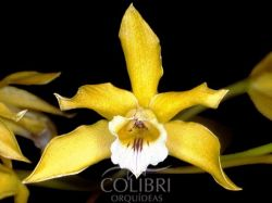 Brasilaelia xanthina