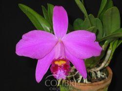 Hadrolaelia ×adrienne