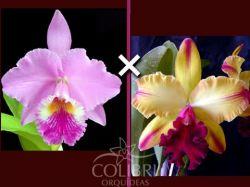 Cattleya labiata × Blc. Toshie Aoki