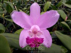 Cattleya (amethystoglossa cerúlea × loddigesii alba)