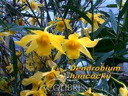 Dendrobium hancockii