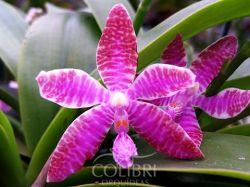 Phalaenopsis lueddemanniana
