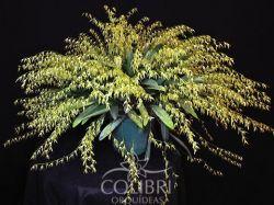 Anathallis linearifolia (Specklinia linearifolia)