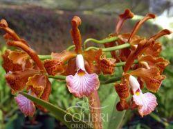 Cattleya velutina (Nem Sempre x AOSP)