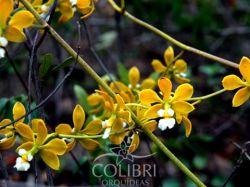 Encyclia alboxanthina