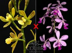 Encyclia (patens × dichroma)