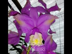 Cattleya harrisoniana (trilabelo x self)