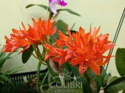 Guarianthe aurantiaca (Mishima spots x self)