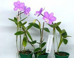 Cattleya loddigesii (rubra × especial)