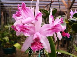 Cattleya intermedia vinicolor flamea