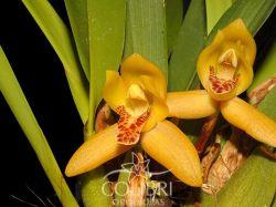 Mormolyca rufescens (Maxillaria rufescens)