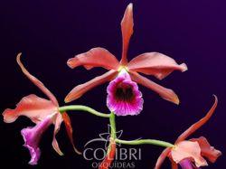 Brasilaelia tenebrosa (escura × vinicolor)