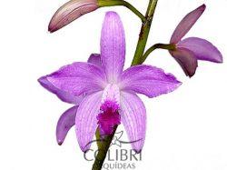× Hoffmanncattleya odiloniana