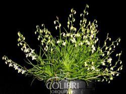 Phymatidium falcifolium