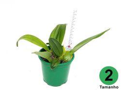 Grandiphyllum (auricula × pulvinatum)