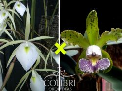 Brassavola tuberculata × Cattleya schilleriana cerúlea