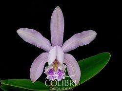 Cattleya × isabellae (C. forbesii × C. intermedia)