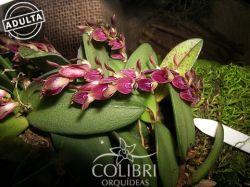 Acianthera recurva - LEQUINHO