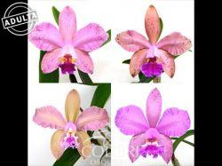 (Blc. Durigan × Cattleya granulosa) × Cattleya loddigesii